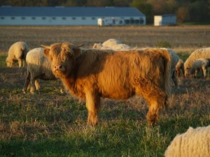 Permaculture highland bull calf